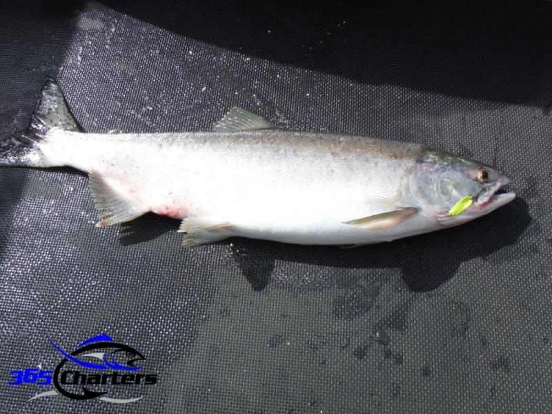 new_Pink-Salmon032